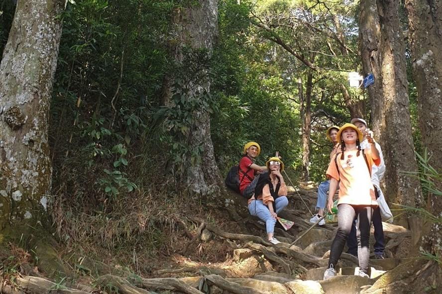 Nhân giống thành công cây Xích Tùng cổ Yên Tử: Có cây 'nối dõi tông đường'