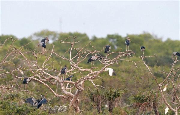 Valuable birds migrate to Bac Lieu