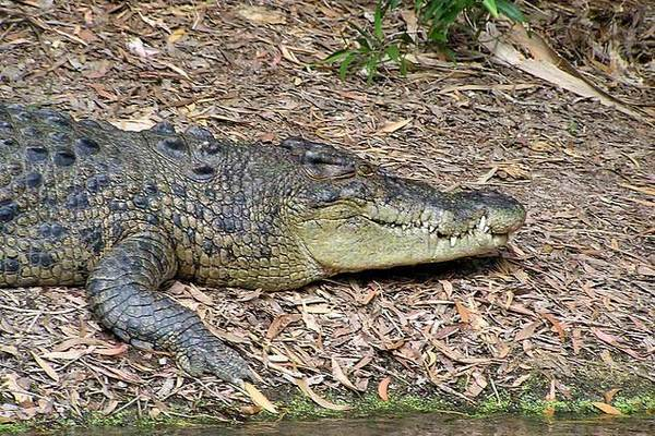 Nam sinh tay không đấu với cá sấu để giành lại em gái
