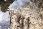 Loài cá lạ có chân vừa phát hiện ở Cao Bằng quý hiếm như thế nào?