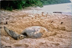 Vietnam tries to protect sea turtles, the 'ocean envoys'
