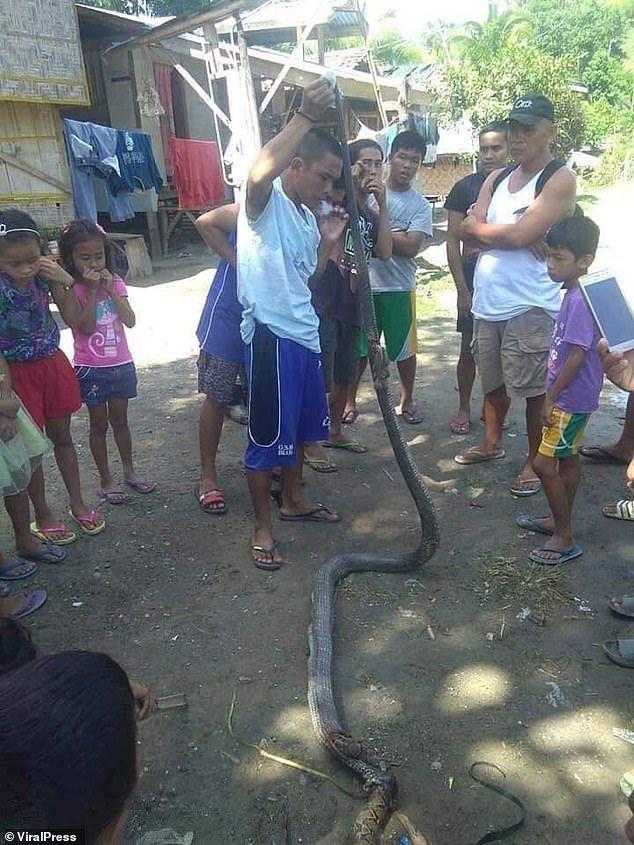 Philippines,động vật,rắn hổ mang,trắn