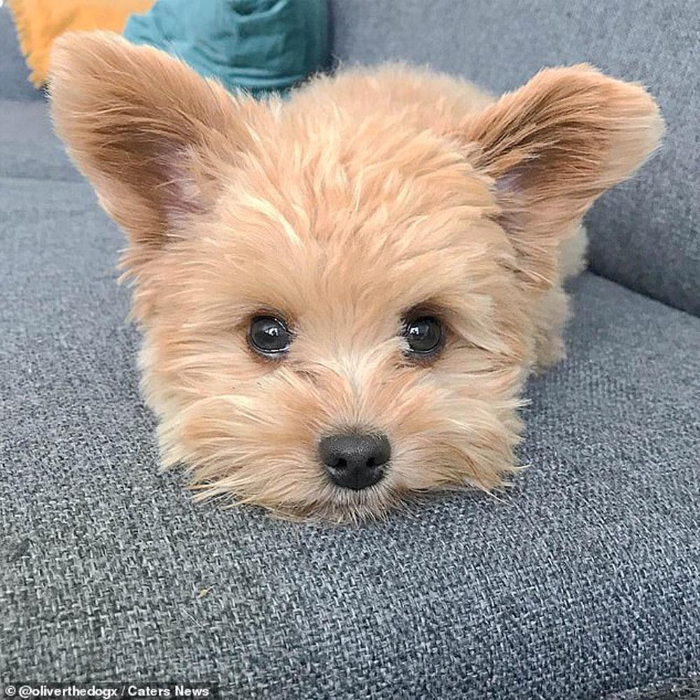 Chú chó thành ngôi sao trên mạng xã hội vì quá giống gấu bông