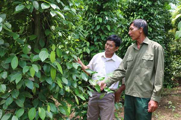 Pepper farmers in Vietnam switch to other crops as price declines