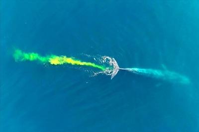 """Cá voi """"bắn pháo hoa"""", nước biển chuyển màu kỳ ảo"""