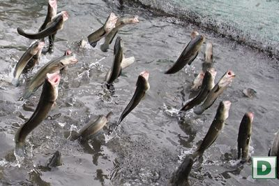 Cá ăn cơm bằng thìa, cá bú sữa bình độc nhất thế giới của dân Việt