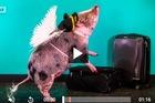 Lợn làm 'bác sĩ' chữa bệnh cho hành khách ở sân bay