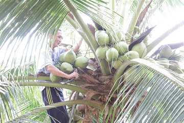 Coconut offers high value for farmers amid climate change