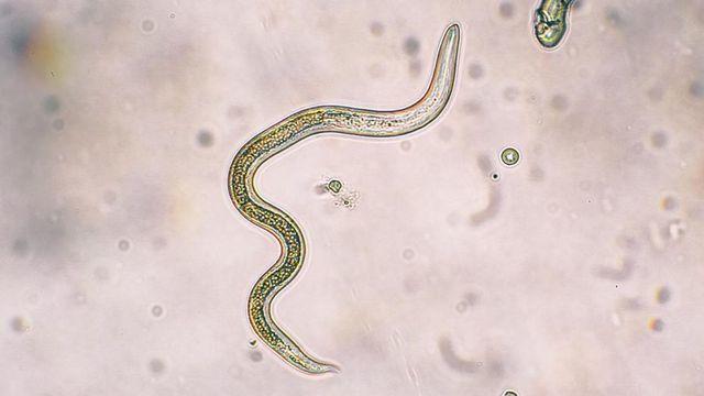 Khách nam bị ký sinh trùng chui vào 'chỗ hiểm' và đẻ trứng