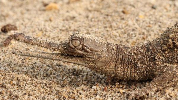 Nepal,baby crocodiles,found,sci-tech news