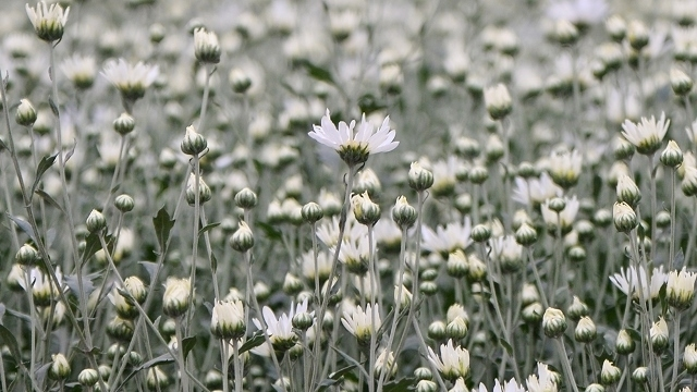 White daisy helps flower growers raise income