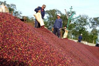 Coffee price falls as farmers warned of lower profits