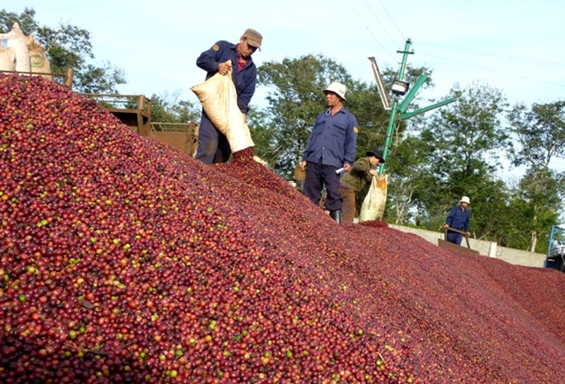 Coffee price falls as farmers warned of lower profits