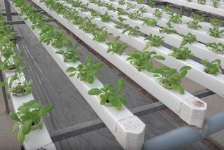 Mô hình trồng rau không cần đất hiện đại của nông dân Hà Nội