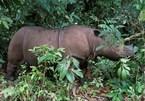 Sumatran rhino extinct in Malaysia