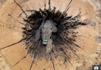 Chú chó săn mắc kẹt trong thân cây sồi suốt 60 năm