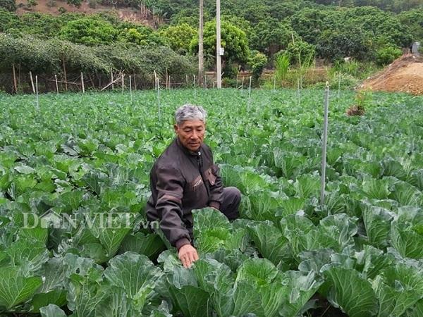 Vùng đất dân làm giàu nhờ trồng những cây bắp cải to tướng