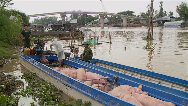 State strictly controls trading, transport of smuggled pigs