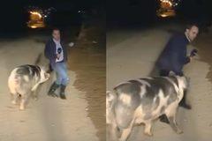 Lợn cái 'hung hãn tán tỉnh' nam phóng viên trên sóng trực tiếp