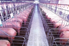 African swine fever rocks meat industry