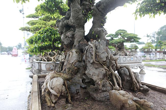 Cây sanh cổ của nghệ nhân Hà Nội được trả 6 tỷ mà chủ nhân chưa muốn bán
