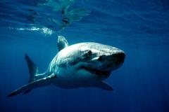 Xôn xao chuyện xuất hiện cá mập 100kg trên vùng biển Bình Thuận