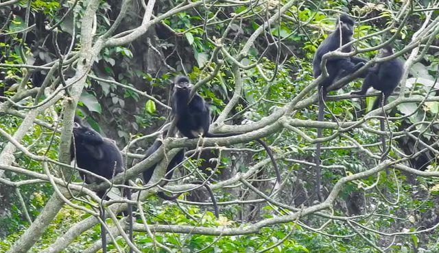 langurs,quang binh,forest,Vietnam environment