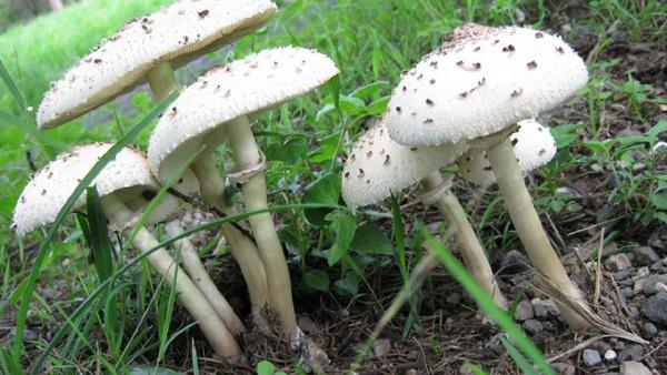 Nhận biết nấm độc và xử trí ngộ độc nấm