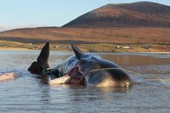 Sperm whale dies with 100kg 'litter ball' in its stomach