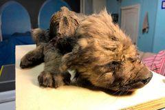 Tìm thấy xác chó con gần hai vạn tuổi vẫn còn nguyên vẹn
