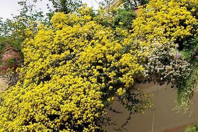 Hoa cúc dài 2 mét, hàng vạn bông rực vàng phủ kín 4 tầng nhà