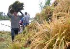 The hard lot of Vietnam's rice