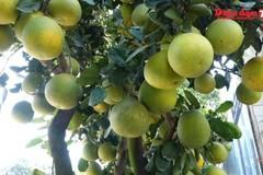 Hà Nội: Những cây bưởi giá 40 triệu đồng xuống phố đón Tết
