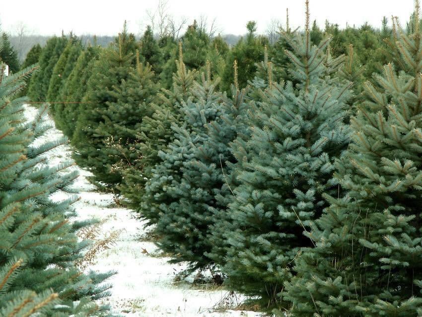 Cỗ Noel đu đủ 1,2 triệu/kg, hồng 1 triệu/kg ngồi ngắm cây thông 30 triệu