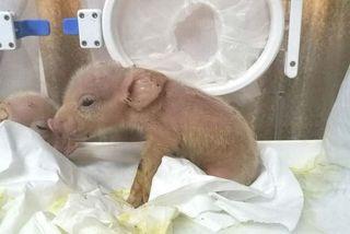 Lợn lai khỉ đầu tiên trên thế giới ra đời tại Trung Quốc