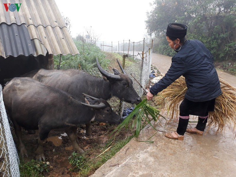 Thousands of cattle in Lao Cai threatened by the cold