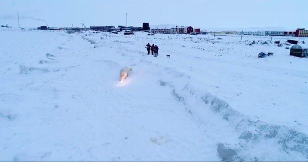 Xem dân dùng pháo sáng đuổi đàn gấu Bắc cực