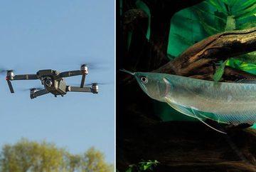 Xem cá rồng 'bay lên' tấn công máy bay không người lái