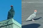 Bí ẩn chim bồ cầu đội mũ cao bồi ở Las Vegas