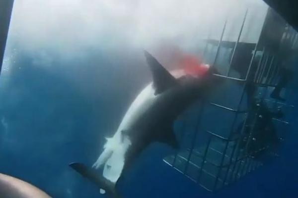 Cá mập trắng chết thảm vì kẹt vào lồng thợ lặn