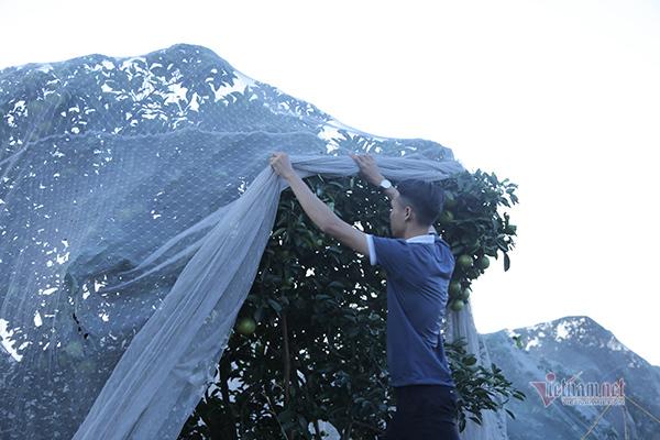 Đồi cam 6 tỷ kỳ lạ nhất Việt Nam, 2.000 cây mắc màn trắng cả rừng