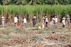1/1/2020, thời điểm đe dọa hàng vạn nông dân trồng mía Việt Nam