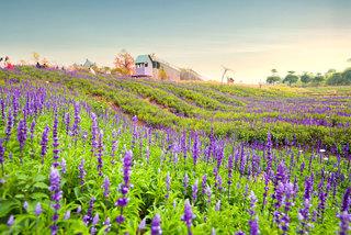Sau cúc họa mi, giới trẻ hào hứng đến cánh đồng hoa tím biếc ở Long Biên