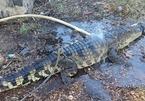 Cá sấu dài gần 2m miệng bị buộc chặt bò trên quốc lộ 1