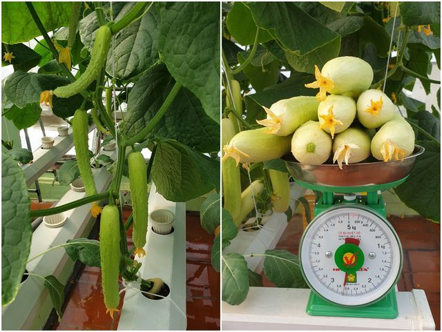 trồng rau sân thượng,nông dân phố,trồng rau