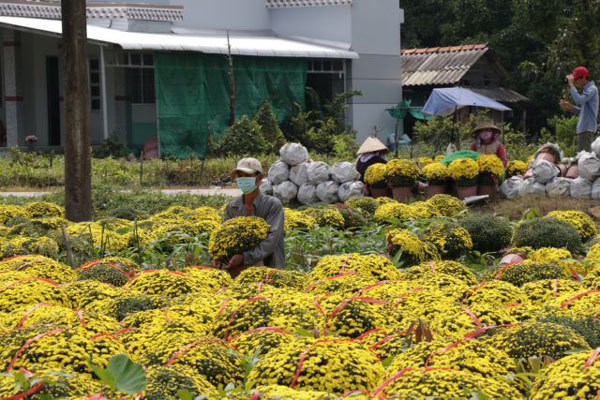 Mekong Delta's main flower, ornamental plant growing district affected by saltwater in rivers