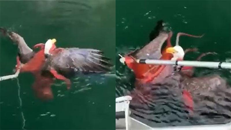 Xem ngư dân cứu đại bàng khỏi xúc tu 'tử thần' của bạch tuộc