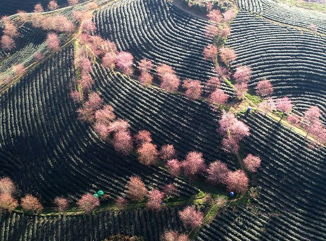 Beautiful scenery as cherry blossoms bloom in Sapa