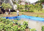 Farmers face early salt water intrusion in Vinh Long