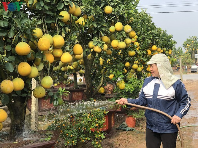 Kumquat and pomelo gardeners gear up for Tet